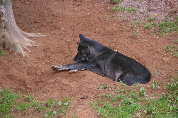 Wolf in Merzig